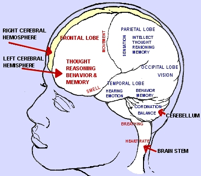 A Chart of the Areas of the Brain